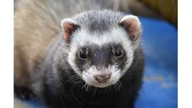 Search for two who may have been bitten by rabid ferret